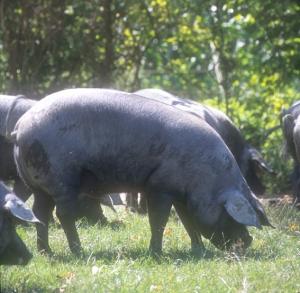 Cochon noir de Gascogne.